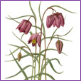 Snakes Head Fritillaries/Limited edition print