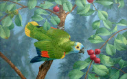 Blue-Fronted Amazon Parrot-painting
