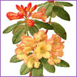 Rhododendron - Buttermint