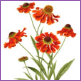 Helenium Autmnale/Limited edition print