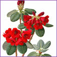 Rhododendron - Thomsonii