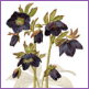 Hellebore - Black form/Limited edition print